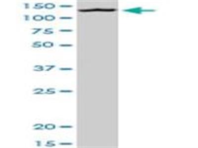 MORC1 Antibody (3E8)