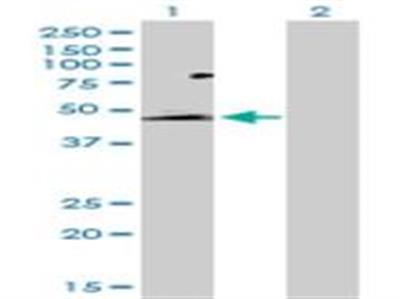 GPR172B Antibody