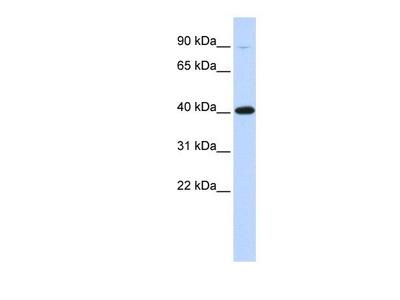 anti-Zinc Finger Protein 42 (ZFP42) (Middle Region) antibody