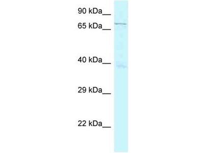 anti-GSG2 Antibody