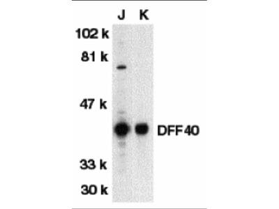 DFF40 Antibody