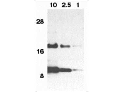 Eotaxin Antibody