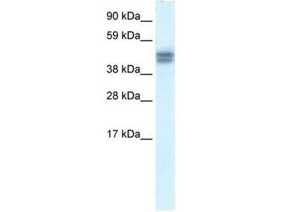 anti-SAP30 Binding Protein (SAP30BP) (N-Term) antibody