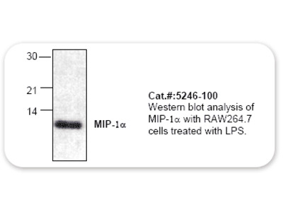 MIP-1-alpha Antibody