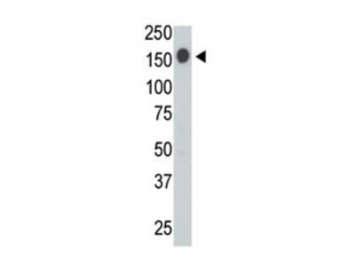 anti CD45 / LCA (C-term)
