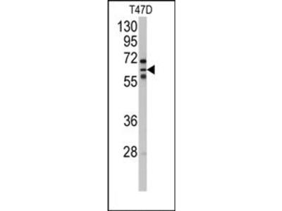 anti CYP2C8 (N-term)