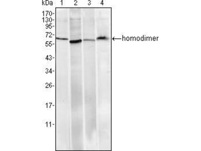 anti-Ring Finger and CHY Zinc Finger Domain Containing 1, E3 Ubiquitin Protein Ligase (RCHY1) antibody