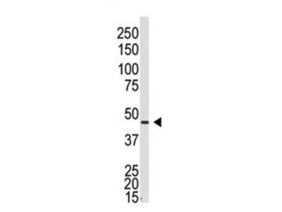 anti GJA5 / Cx40 (N-term)