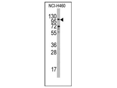 anti Exonuclease 1 (EXO1) (N-term)