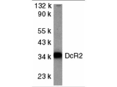 DcR2 Antibody