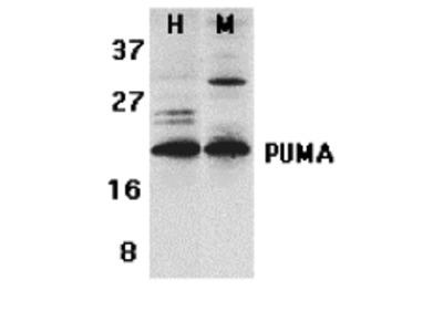 PUMA Antibody