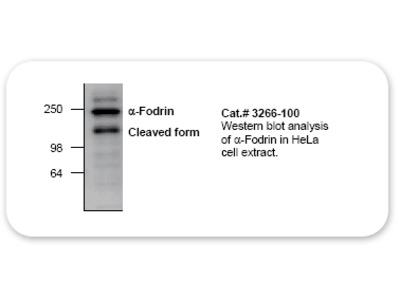 alpha-Fodrin Antibody