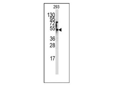 anti SLC29A1 / ENT1