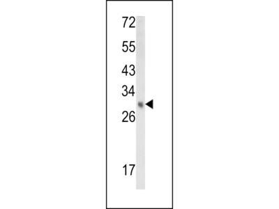 EBP Antibody (N-term)