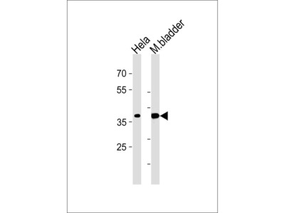 EIF3H Antibody (C-term)