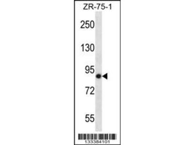 LRRN4 Antibody (C-term)