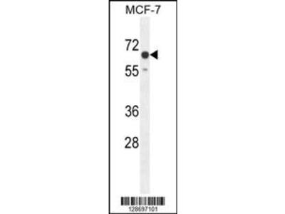 CO027 Antibody (C-term)