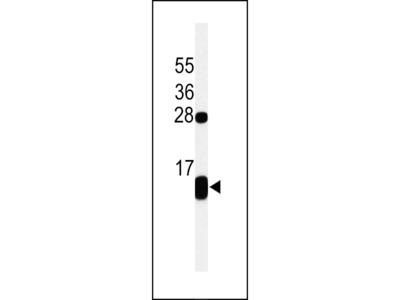 PLB-T17 Antibody