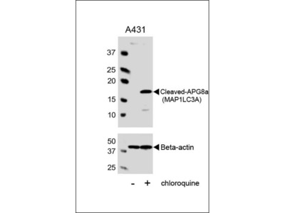 Cleaved LC3A Antibody