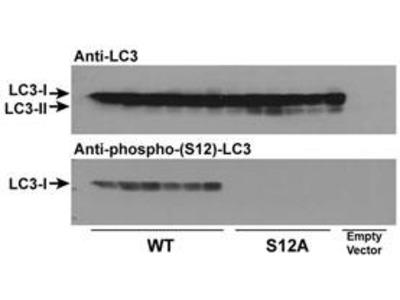 Phospho-LC3C (S12) Antibody