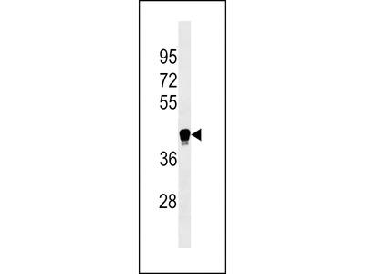 LILRA6 Antibody (Center)