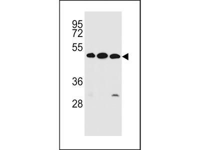 KREMEN2 Antibody (Center)