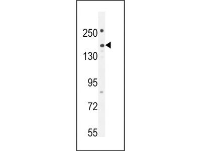 PKHG1 Antibody (C-term)