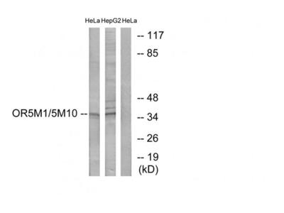OR5M10 antibody