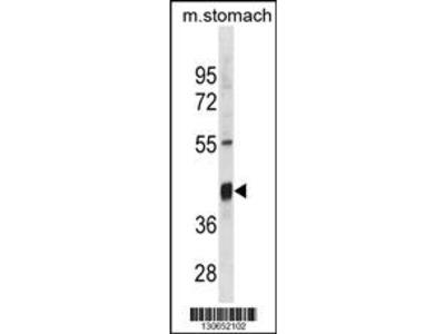 Mouse Txnip Antibody (Center)