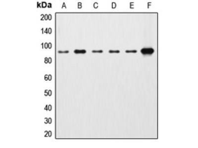 Anti-Beta-catenin Antibody