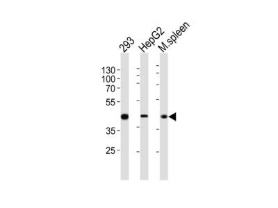 STEA2 Antibody (Center)