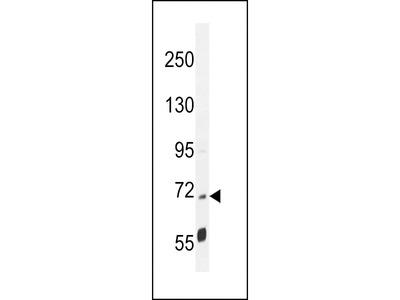LRRC68 Antibody (N-term)