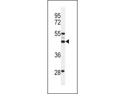OST alpha Antibody (C-term)