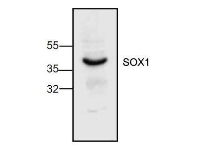 Sox-1 Antibody