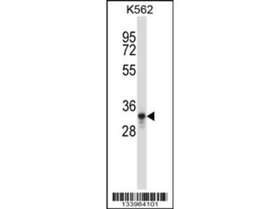 PTF1A Antibody (C-term)