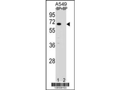 ASB3 Antibody (N-term)
