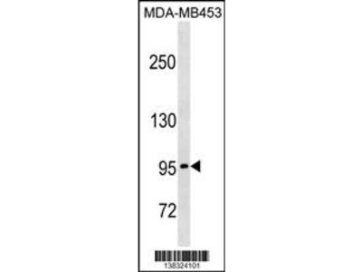 PCDHGA5 Antibody (N-term)