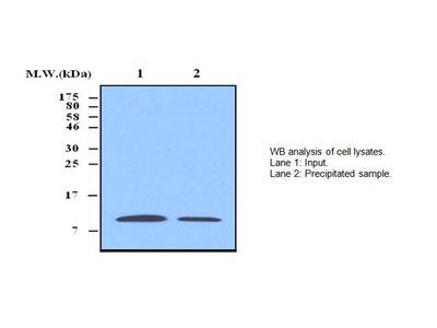 Thioredoxin 1 Antibody (3A1)