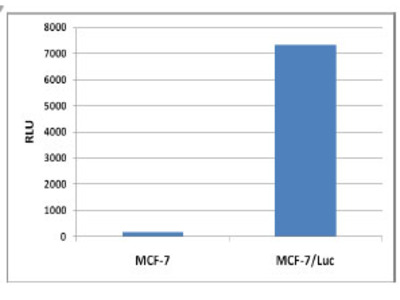 MCF-7/Luc Cell Line