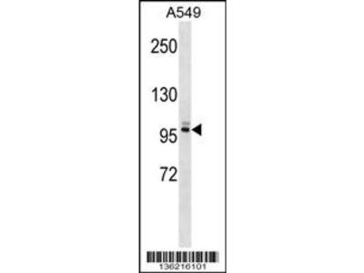 PLEKHG5 Antibody (N-term)