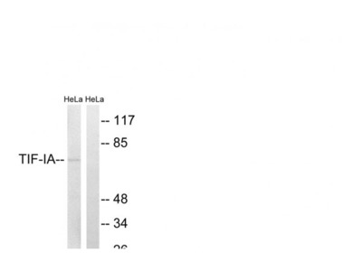 TIFIA antibody