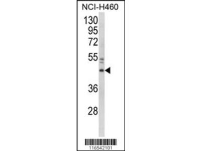 GAPDHS Antibody (Center)