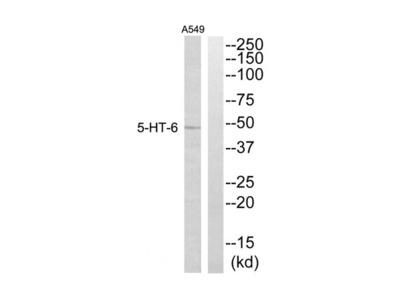 5HT6 antibody