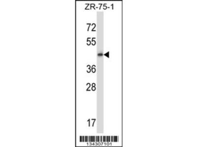GPR137 Antibody (Center)