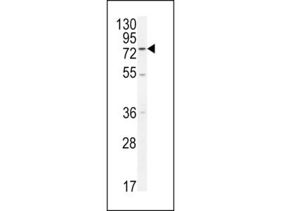 ENTHD1 Antibody (N-term)