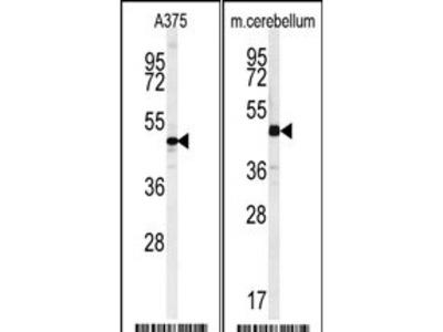 C10orf46 Antibody (C-term)