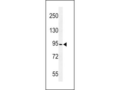 CF097 Antibody (C-term)