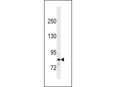 PADI6 Antibody (N-term)
