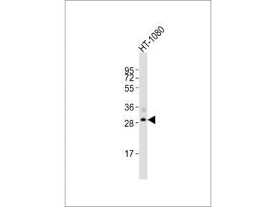 FBXO45 Antibody (N-Term)