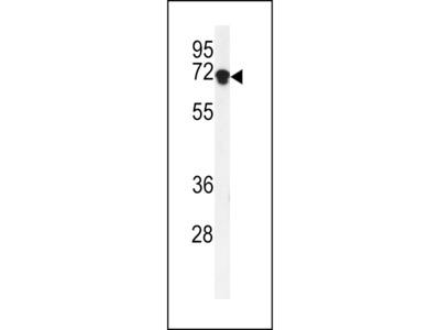 DEN1A Antibody (C-term)